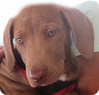 Vizsla/Weimaraner Mix Puppy for adoption in Poway, California - Gwen
