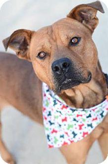 Rhodesian Ridgeback Mix Dog for adoption in Indianapolis, Indiana - Finnegan