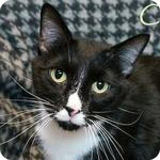 Domestic Shorthair Cat for adoption in Hillside, Illinois - Dominic