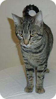 Domestic Shorthair Kitten for adoption in Gary, Indiana - Banjo