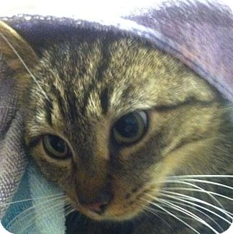 Domestic Mediumhair Cat for adoption in Parma, Ohio - Nutmeg