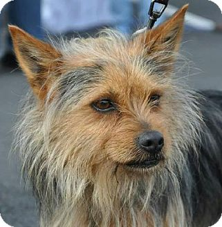 Cairn Terrier/Yorkie, Yorkshire Terrier Mix Dog for adoption in Lodi, California - Henley