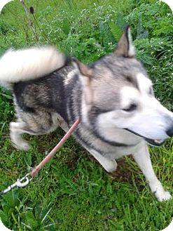 Siberian Husky Mix Dog for adoption in Augusta County, Virginia - Olaf
