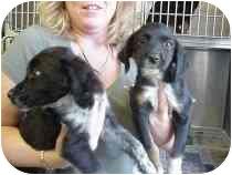 Labrador Retriever/Border Collie Mix Puppy for adoption in Ephrata, Pennsylvania - Ellie & Elsie