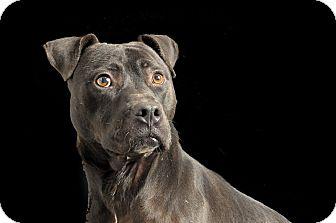 American Staffordshire Terrier Mix Dog for adoption in Savannah, Georgia - Buck