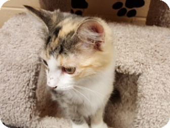 Domestic Shorthair Kitten for adoption in Smithfield, North Carolina - Lotte