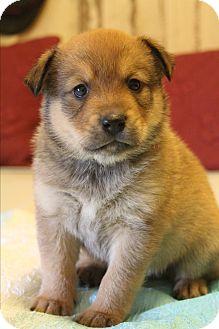 Corgi/German Shepherd Dog Mix Puppy for adoption in Staunton, Virginia - Muddles