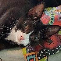 American Shorthair Kitten for adoption in Hazlet, New Jersey - Spider