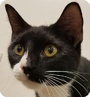 Domestic Shorthair Cat for adoption in Colonial Heights, Virginia - Marbles