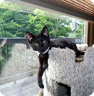 Domestic Shorthair Kitten for adoption in Manitowoc, Wisconsin - Howser