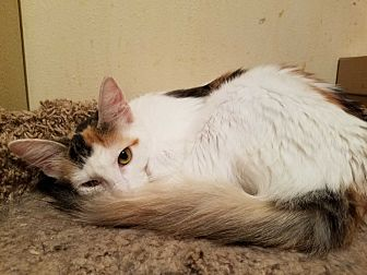 Calico Cat for adoption in Walla Walla, Washington - Delilah