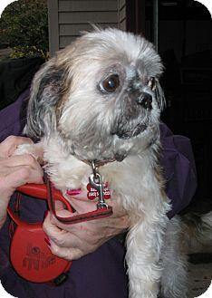 Shih Tzu Dog for adoption in Salem, Oregon - Esther