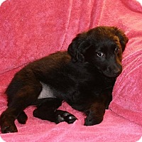 Adopt A Pet :: NFL Puppies 3 left - Pompton Lakes, NJ