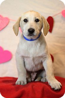 Golden Retriever Mix Puppy for adoption in Waldorf, Maryland - Jager