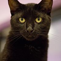 Domestic Shorthair Cat for adoption in Grayslake, Illinois - June