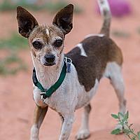 Chihuahua Dog for adoption in Kanab, Utah - Heather