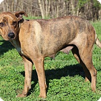 Catahoula Leopard Dog Mix Dog for adoption in Waldorf, Maryland - Lillie