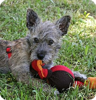 Cairn Terrier/Schnauzer (Miniature) Mix Puppy for adoption in Winters, California - Cosmos