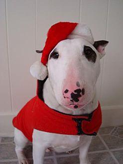 Bull Terrier Dog for adoption in Baltimore, Maryland - Cooper (COURTESY POST)