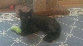 Domestic Shorthair Cat for adoption in Woodstock, Georgia - Tyler