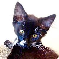 Adopt A Pet :: Georgie Cool Cat - Davis, CA