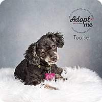 Adopt A Pet :: Tootsie - Mount Laurel, NJ