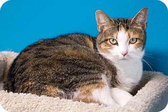 Calico Cat for adoption in Batavia, Ohio - Nevada