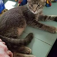 Adopt A Pet :: Kitten 15791 - Parlier, CA