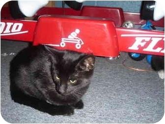 Domestic Shorthair Kitten for adoption in Solon, Ohio - Breanna