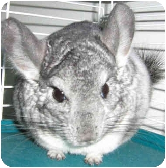 Chinchilla for adoption in Poway, California - Omelet