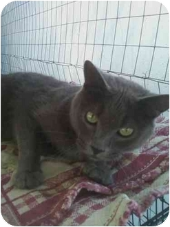 Russian Blue Cat for adoption in Bay City, Michigan - Bandit~~ADOPTED~~