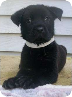 Labrador Retriever Mix Puppy for adoption in Lafayette, New Jersey - LuLu-