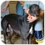 Photo 1 - Greyhound Dog for adoption in Windsor Heights, West Virginia - Rocky