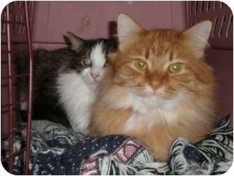 Domestic Mediumhair Cat for adoption in Roseville, Minnesota - Pumpkin and Cookie