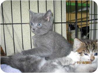 Domestic Shorthair Kitten for adoption in Catasauqua, Pennsylvania - Scooter