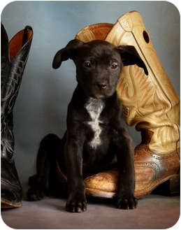 Pointer Mix Puppy for adoption in Dallas, Texas - Thor