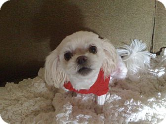 Maltese/Shih Tzu Mix Dog for adoption in Hilliard, Ohio - Roxy