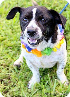Corgi Mix Dog for adoption in Boynton Beach, Florida - Kibbles