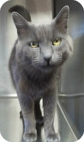 Russian Blue Cat for adoption in Silver City, New Mexico - Natasha