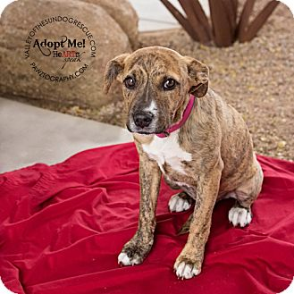 Terrier (Unknown Type, Medium)/Terrier (Unknown Type, Medium) Mix Puppy for adoption in Mesa, Arizona - Ruby