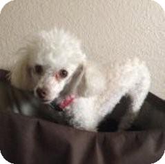 Poodle (Miniature) Dog for adoption in Las Vegas, Nevada - Scarlet