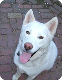 Husky/German Shepherd Dog Mix Dog for adoption in Grafton, Massachusetts - Sam