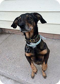 Dachshund Mix Dog for adoption in Pueblo, Colorado - Precious