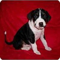 Adopt A Pet :: Abby - Arlington, TX