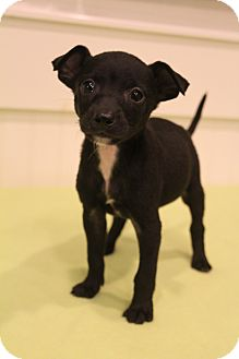 Chihuahua Mix Puppy for adoption in Bedminster, New Jersey - Paco