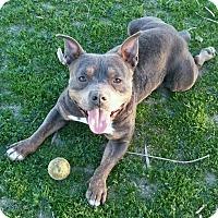 Adopt A Pet :: MILO - Valley Village, CA