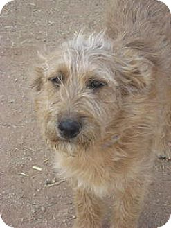 Terrier (Unknown Type, Medium)/Dachshund Mix Dog for adoption in Las Cruces, New Mexico - Riley