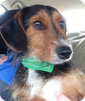Dachshund Mix Puppy for adoption in Bowie, Maryland - Gage