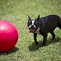 Adopt A Pet :: GENE - Weatherford, TX