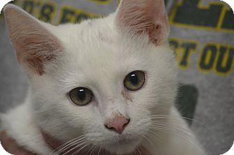 Domestic Shorthair Cat for adoption in Morgantown, West Virginia - Graham